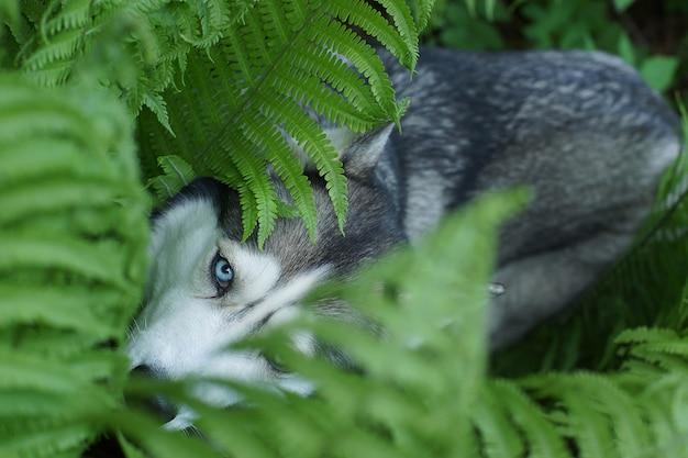 Een blauwogige husky-rashond verstopte zich in de varenstruiken in de zomer.