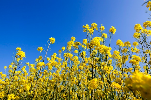 Een bloeiend koolzaadveld op het platteland