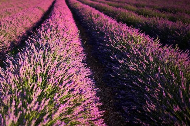 Een bloeiend veld met lavendelbloemen