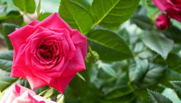 Een bloeiende rode roos op een achtergrond van groen gras en bladeren, kopieer ruimte