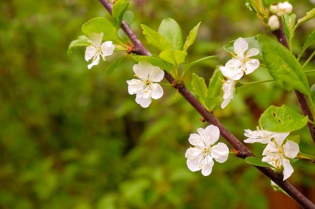 Een bloeiende tak van appelboom in mei. witte tot bloei komende appelbomen in het zonsonderganglicht. lente seizoen, lentekleuren.
