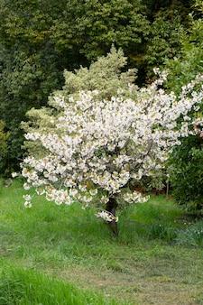 Een bloeiende tak van een appelboom in de lente