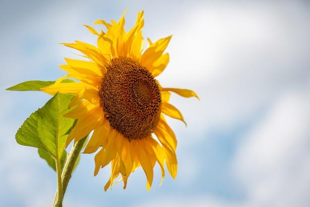 Een bloeiende zonnebloem op de achtergrond van een kleurrijke lucht levendige zonnebloem in volle bloei