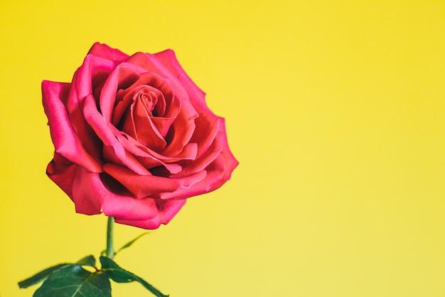 Een bloem helder mooie roze roos op een felgele achtergrond.