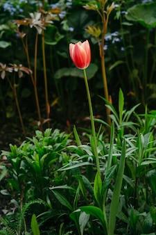Een bloem van een rode tulp op een onscherpe achtergrond van andere bloemen.