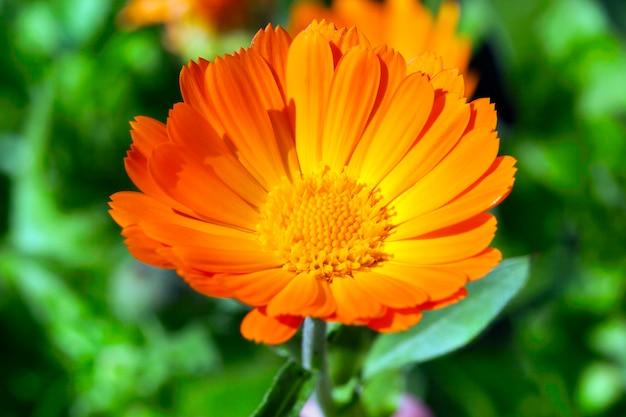 Een bloem van oranje goudsbloem die in de geneeskunde wordt gebruikt. close-up, weinig scherptediepte. gras in de oppervlakte