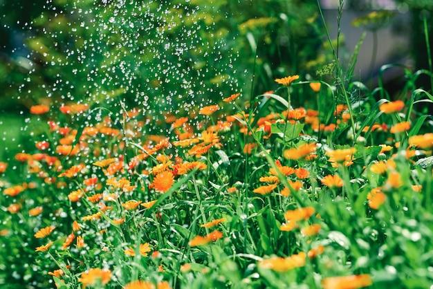 Een bloembed met calendula-bloemen wordt van bovenaf bewaterd met kleine druppels water