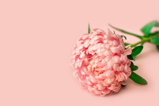 Een bloemknop van een enkele aster pioenvormig zacht roze ligt op een lichtroze achtergrond.