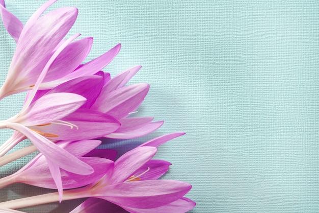 Een boeket roze krokussen op een blauw