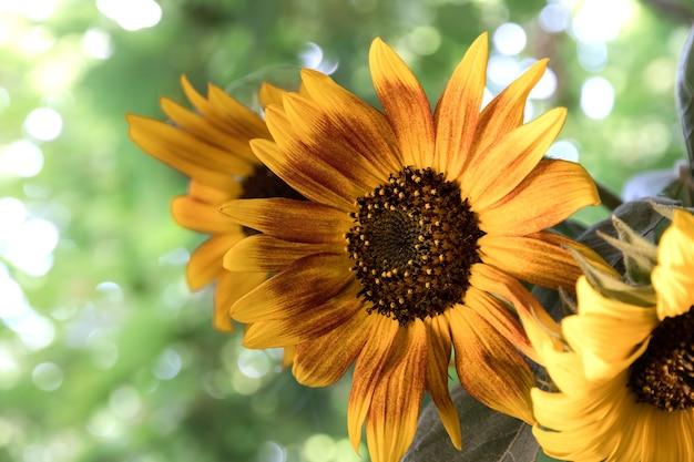 Een boeket zonnebloemen