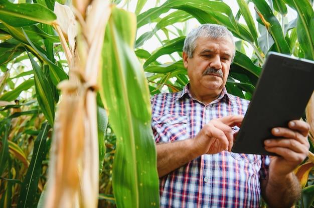 Een boer controleert de hoge maïsoogst voordat hij gaat oogsten. agronoom in het veld