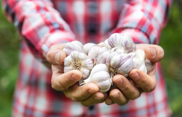 Een boer heeft een knoflookoogst in zijn handen. selectieve aandacht. natuur.