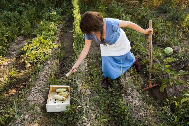 Een boer oogst groenten in het veld