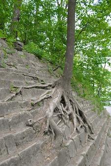 Een boom groeit op een getrapt stenen terras op de berg die zich er met zijn wortels aan vastklampte