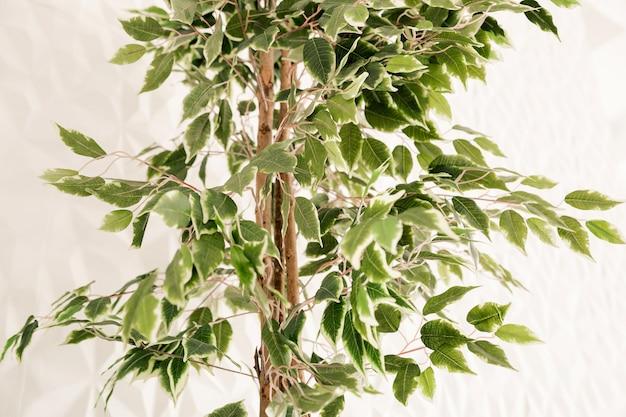 Een boom met kleine groene blaadjes staat tegen een witte muur in het interieur van de woonkamer.