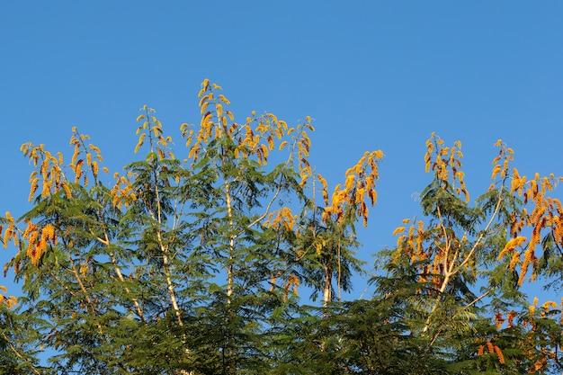 Een boom met oranje bloemen en een blauwe lucht op de achtergrond
