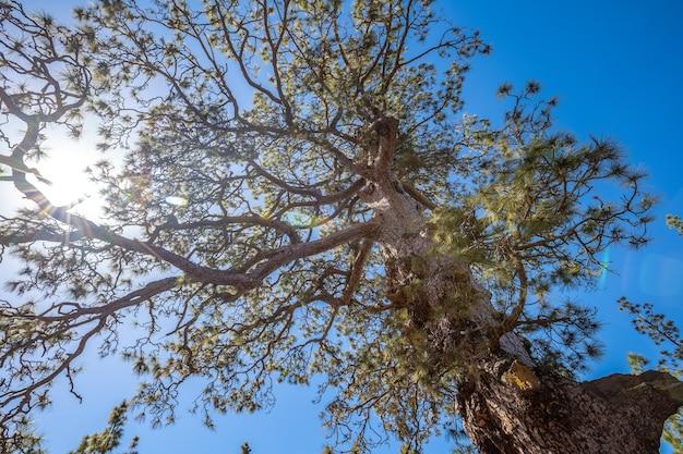Een boom tijdens de trektocht door het bos van de berg teide op het eiland tenerife
