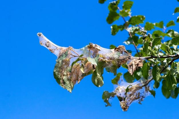 Een boomtak op een achtergrond van blauwe lucht is dicht bedekt met spinnenwebben, waarin de larven van een witte vlinder. de boom wordt aangetast door spinnenwebben