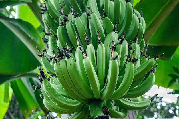 Een bos groene bananen die aan de boom in de tuin groeien, close-up met selectieve focus