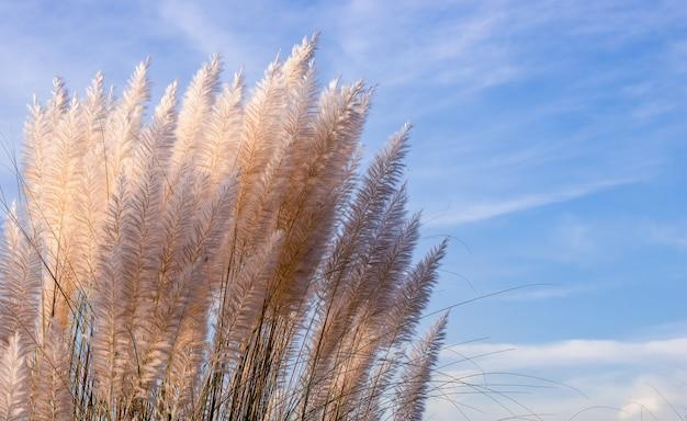 Een bos saccharum spontaneum of katjesbloemen onder de blauwe lucht op een zonnige dag