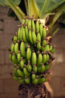Een bosje groene bananen aan de zijkant van een bananenboom