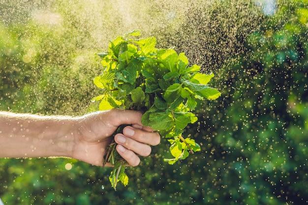Een bosje munt in de hand en een scheutje water