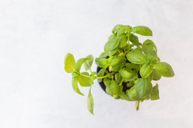 Een bovenaanzicht van basilicum ingemaakte plant tegen witte achtergrond