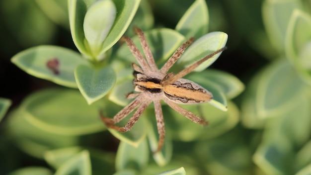 Een bovenaanzicht van een kwekerijwebspin op groene planten in een veld