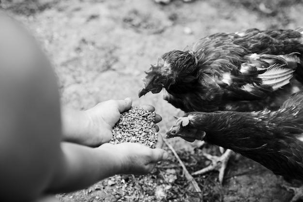 Een bovenaanzicht van kippen voederen graan uit de handen