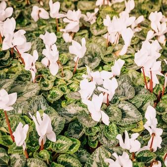 Een bovenaanzicht van verse witte bloemen met groene bladeren