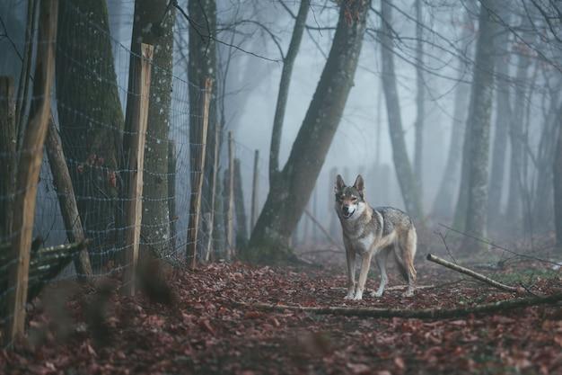 Een boze bruine en witte wolfhond in het midden van rode bladeren dichtbij een netelige omheining in een bos