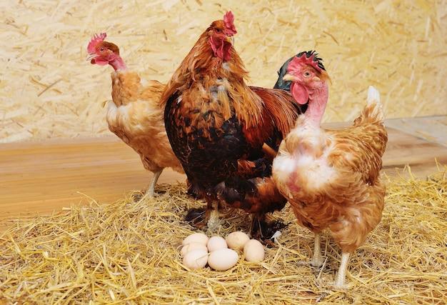 Een brahma-haan en een transsylvanische kip met blote nek tegen een achtergrond van hooi en eieren in een kippenhok op een pluimveebedrijf.