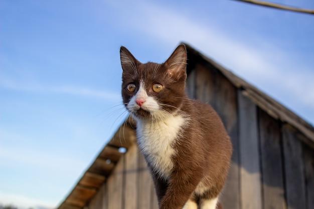 Een bruin katje loopt op het dak. een kitten genaamd busia