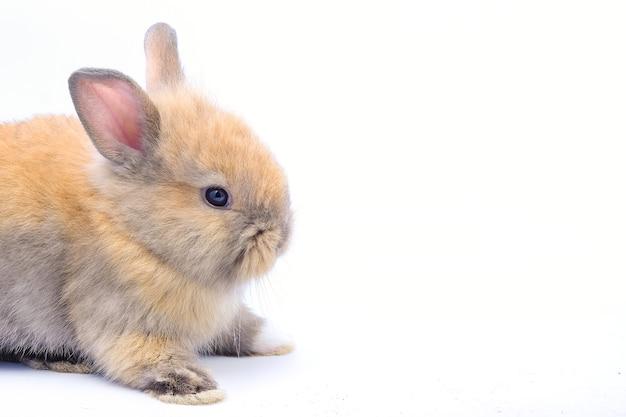 Een bruin konijn geïsoleerd op een wit