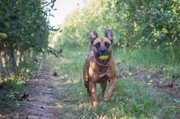 Een bruine amerikaanse staffordshire die met een appel in zijn mond op een gebied van gras en fruitbomen loopt.