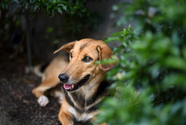 Een bruine en zwarte hond die onder de groene struik op een zonnige warme dag rust.
