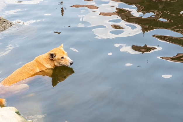 Een bruine hond ontspannen in het water