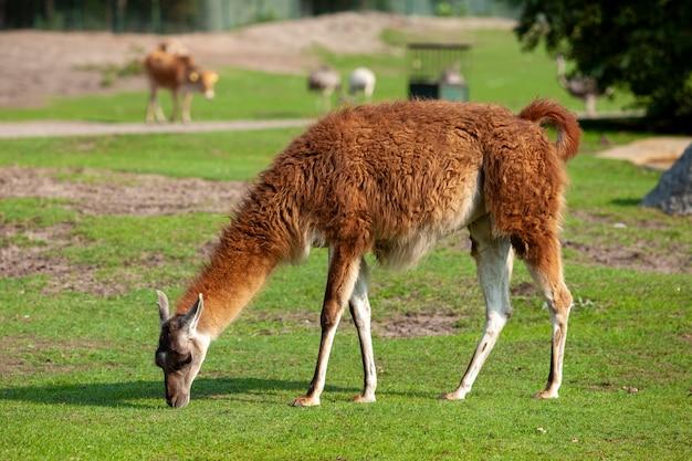 Een bruine lama graast in een weiland en eet groen gras