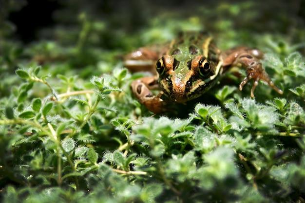 Een bruinzwarte en groene kikker probeert zich te verstoppen in weelderig groen gebladerte