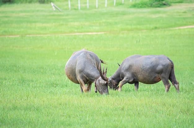 Een buffel die gras op een weide eet.