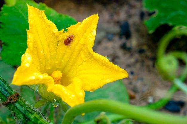 Een bug op gele pompoen bloem in de tuin