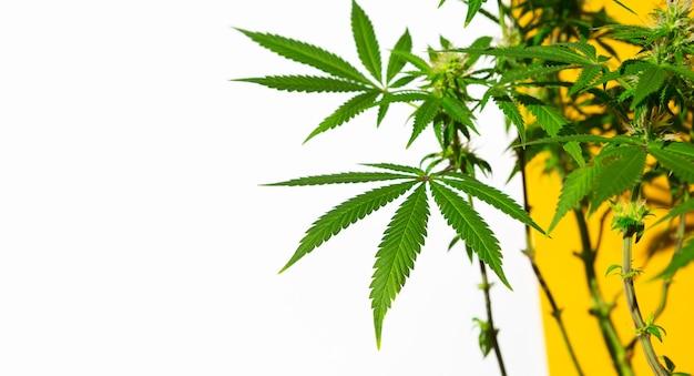 Een cannabisstruik in fel licht met een witte en gele achtergrond met een schaduw. medicinale marihuanabladeren van de jack herer-variëteit zijn een hybride van sativa en indica. een huisplant kweken
