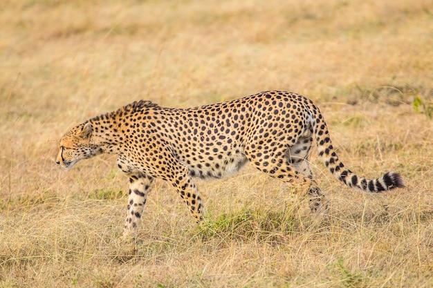 Een cheetah die in het masai mara nationaal park loopt, wilde dieren in de savanne. kenia