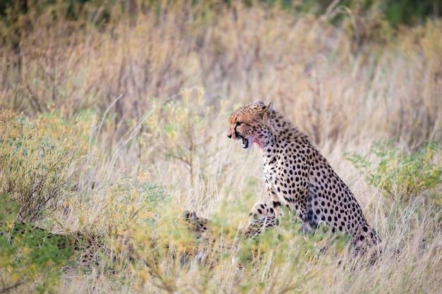 Een cheetah die midden in het gras eet