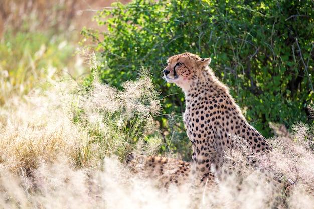 Een cheetah in het gras in de savanne