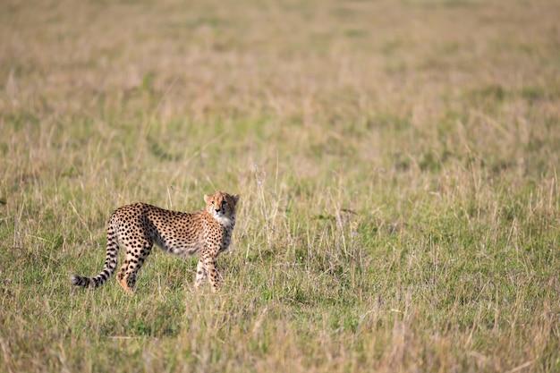 Een cheetah in het graslandschap tussen de struiken