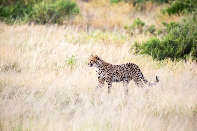 Een cheetah loopt in het hoge gras van de savanne op zoek naar iets te eten