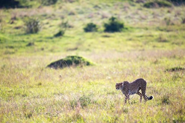 Een cheetah loopt tussen gras en struiken in de savanne van kenia