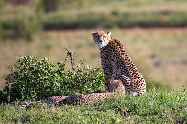 Een cheetah-moeder met twee kinderen in de keniaanse savanne
