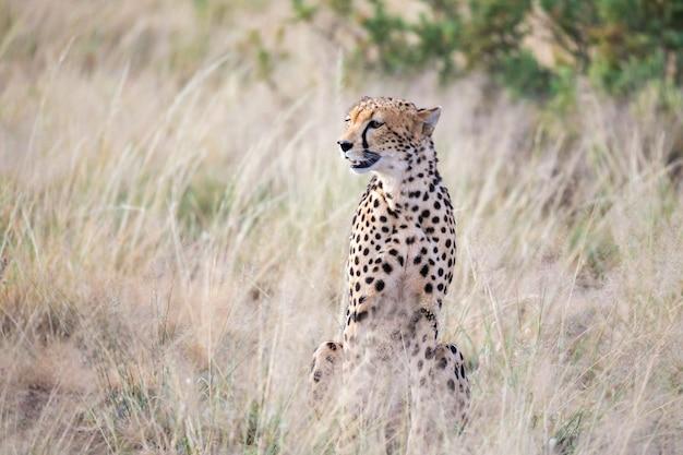 Een cheetah zit in de savanne op zoek naar een prooi